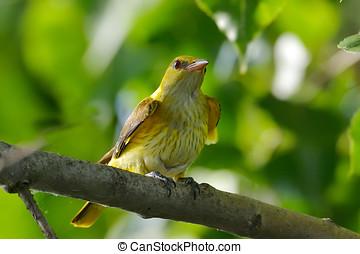 złoty, wilga, w, kasownik, środowisko, (Oriolus, oriolus),...