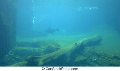 California sea lion swim underwater - California sea lion...