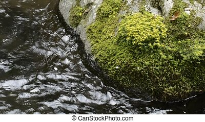 Sedum subtile flowers on a rock and brook flowing