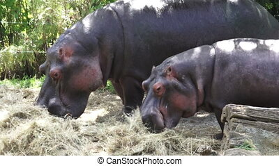 Two Hippopotamus eat hay - Two Hippopotamus (Hippopotamus...