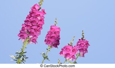 Pink snapdragon flowers - Bright pink snapdragon flowers...