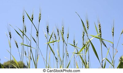 Green wheat plants swaying in the wind under blue sky
