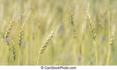 Swaying wheat plant - Slanted turned yellow wheat plant...