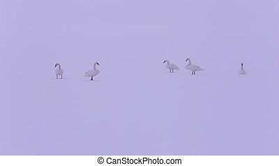 Mute Swans in the natural winter environment, on the snowy...
