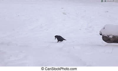 Crow and dog in snow - On snow walks and runs Crow Dog
