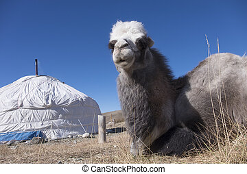 Bactrian camels is from the Mongolian yurt