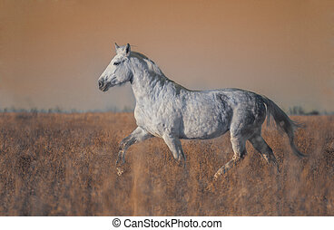 Gray horse run forward on the field in the evening