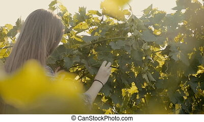 Lovely girl in the vineyard - Lovely girl reaps a crop in...