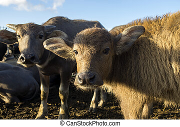 The water buffalo with sunlight.