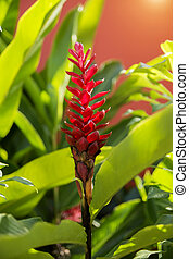 beautiful tropical red ginger flower in the garden
