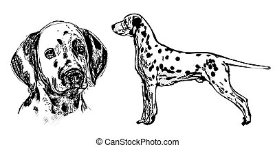 dalmatian illustration on white