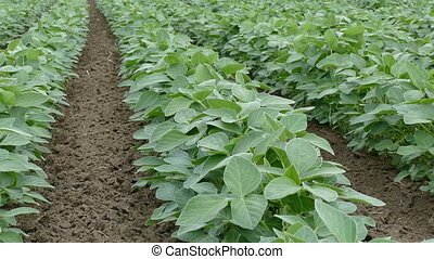 Soybean plant in field, closeup - Agriculture, green...