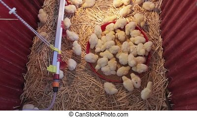 Chicks - New Born yellow Chicks at Farm