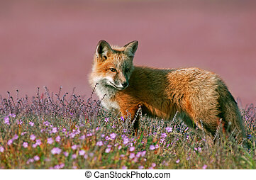 Young Red Fox in field