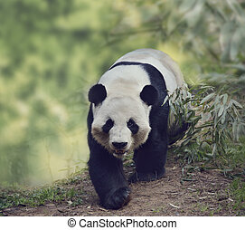 Giant Panda Bear Walking in the Woods