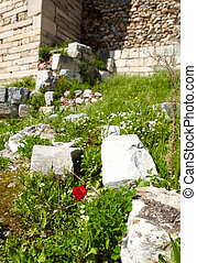 Red Poppy flower - a Red poppy flower in the ruins of the...