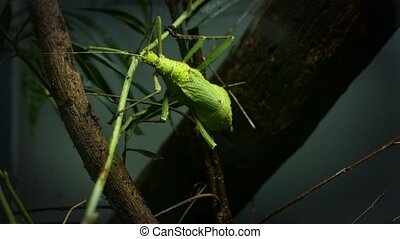 Large green locust climbing up the tree closeup footage