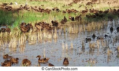 Domestic ducks in paddy field - Flock of domestic ducks...