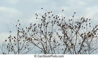 Munia birds in tree - Flock of mixed Scaly-breasted and...
