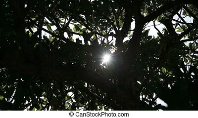 The sun through trees. - Sunlight through tree leaf in sunny...
