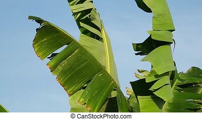 Windy banana leaves - Ragged banana leaves blowing in a...