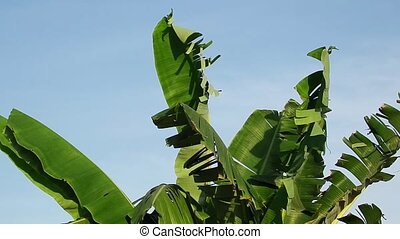 Windy banana plant - Ragged banana leaves blowing in a...