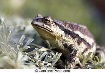 Toad cane Far East - The Portrait Toad cane on island...