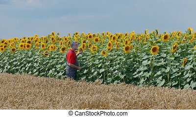 Farmer in wheat and sunflower field
