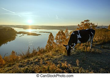 Cow grazing in the morning at dawn - farm morning top view...