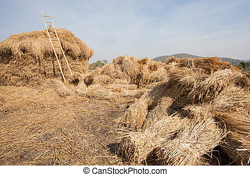dry rice straw after farmer harvesting season stock for...