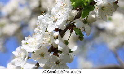 Apple flowers in bloom close up - Close up view at white...