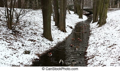 Narrow stream in winter forest - Ducklings floating in...