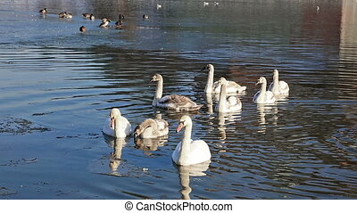 White swans floating in park lake - Group of swans floading...