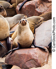 Young brown fur seal, or Arctocephalus pusillus, sitting on...