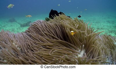 The clown fish swim around and inside anemones - The clown...