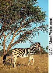 Plains Zebra - A plains Burchells zebra Equus burchelli in...