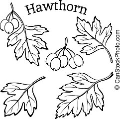 Hawthorn Leaves and Fruits Pictograms - Set of Plant...