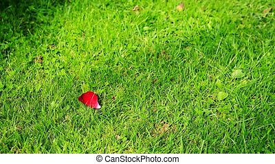 Red rose petals falling - Red rose petals falling on the...