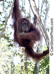 Orang utan, Pongo abelii, single mammal in tree, Sumatra,...