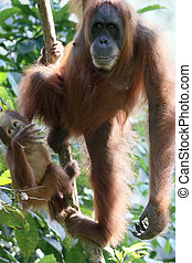 Orang utan, Pongo abelii, two mammals in tree, Sumatra,...