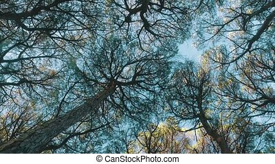 Look Up from Under Cedar Tree Crowns