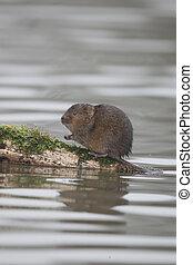 Water vole, Arvicola amphibius, single mammal by water,...