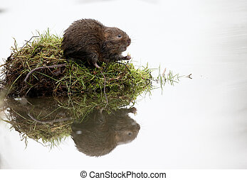 Water vole, Arvicola amphibius, single mammal by water,...