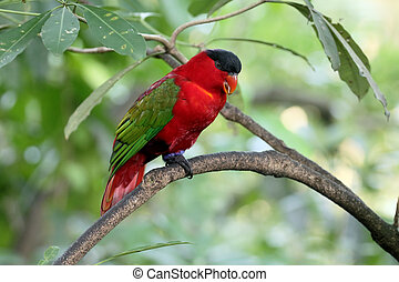 Yellow-bibbed lory, Lorius chlorocercus - Yellow-bibbed...