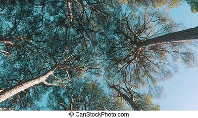 Look Up from Under Cedar Tree Crowns, sunny day