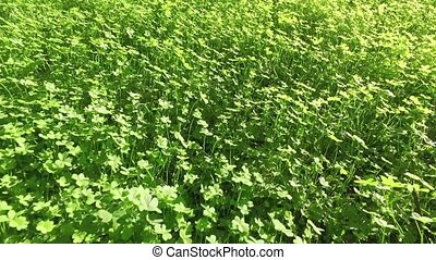 Walking on Green Clover Field, closeup