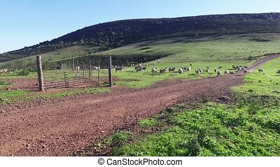 Flock of Sheep Grazing in Mountains, sunny day