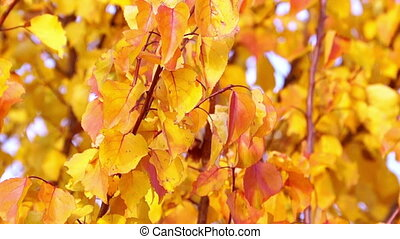 Red and Yellow Autumn Leaves - Colorful Red and Yellow...