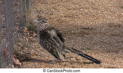 Greater Roadrunner - a cute greater roadrunner