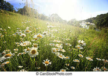 Field  flowers  - Field of spring flowers and sunny day